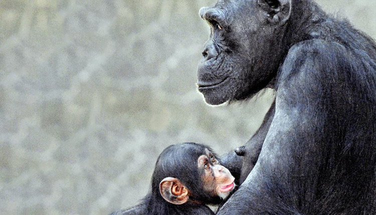 Chimps Have Maternity Leaves